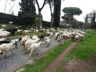 羊と山羊の群れの写真・画像素材[1020046]