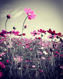 花,コスモス,青空,万博公園