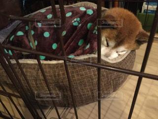 犬,お部屋,部屋,室内,寝る,布団,柴犬,のんびり,寝てる,避難,大雨,丸まる,人間みたい