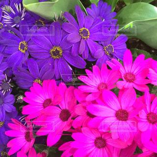 近くに紫の花の房のアップの写真・画像素材[1063048]