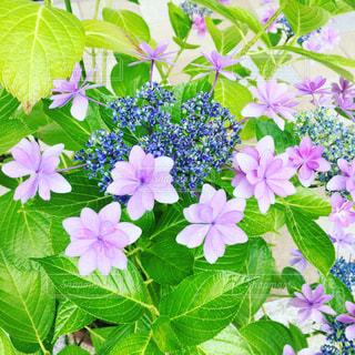 ピンク,緑,鮮やか,紫陽花,梅雨,草木