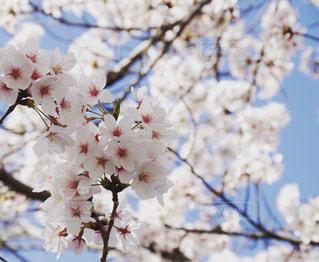 桜,鮮やか