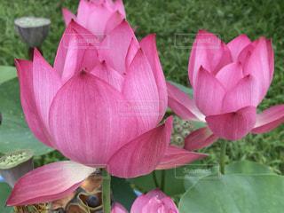 ピンクの花のアップの写真・画像素材[1368722]
