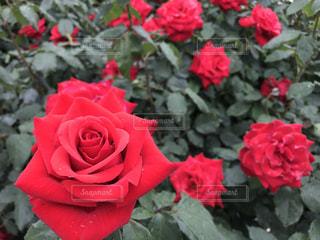 赤い花の写真・画像素材[1368757]
