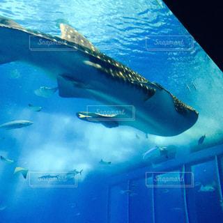 鮫の中の鮫。の写真・画像素材[1024610]