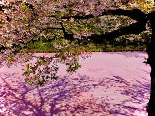 花,春,桜,木,花見,景色,花びら,満開,樹木,お花見,イベント,さくら,ブロッサム
