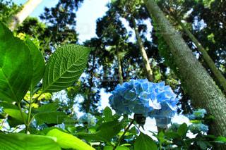 自然,森,緑,青空,木々,紫陽花,梅雨,晴れ間