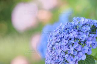 花,あじさい,青,紫陽花,草木,アジサイ