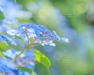 花,あじさい,紫陽花,梅雨,草木,アジサイ,晴れ間