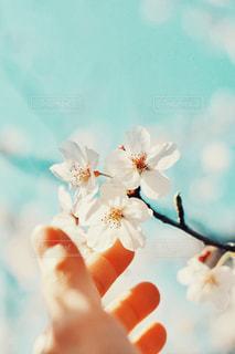 お花見の写真・画像素材[1103756]