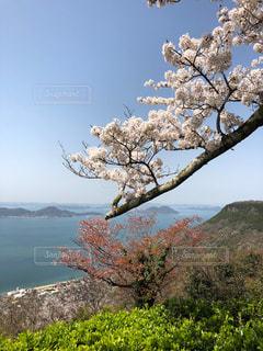 風景,春,桜,海岸,瀬戸内,草木
