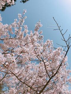 桜です!の写真・画像素材[1150354]