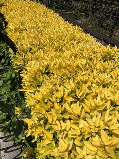 緑の葉と黄色の花の写真・画像素材[1152886]