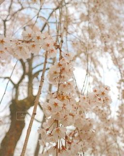 枝垂れ桜の写真・画像素材[1123906]