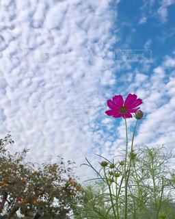 自然,空,花,秋,コスモス,雲,青空,flower,Snapmart,秋空,写真素材,フォトコンテスト
