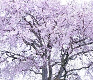枝垂れ桜 20180331撮影 静岡県富士市にての写真・画像素材[1122293]