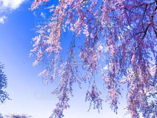 富士霊園の枝垂れ桜の写真・画像素材[1126220]