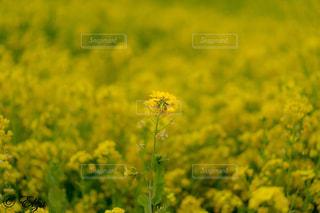 春,カラフル,黄色,菜の花,鮮やか,旅行,イエロー,菜の花畑,フォトジェニック,静岡県富士宮市
