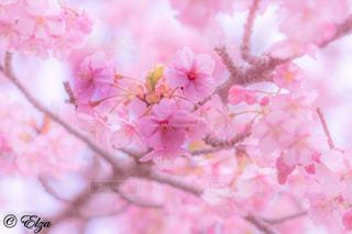 春,桜,ピンク,カラフル,花見,鮮やか,旅行,静岡,富士市,フォトジェニック