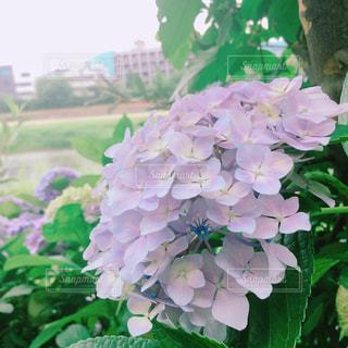 花,緑,あじさい,紫陽花,河川敷,梅雨,小さな花,梅雨入り,薄紫