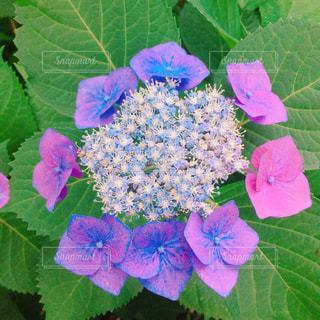 花,京都,あじさい,満開,紫陽花,可愛い,梅雨,高瀬川,小さな花,梅雨入り,赤紫