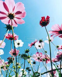 ピンク,赤,白,コスモス,青空,満開,秋桜,コスモス畑,コスモスの花