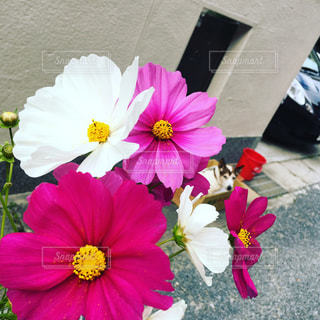 犬,花,ピンク,赤,白,花束,かわいい,コスモス,鮮やか,秋桜