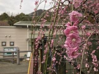植物にピンクの花の写真・画像素材[1049701]