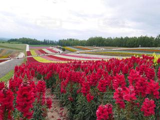 北海道の花畑の写真・画像素材[1269373]