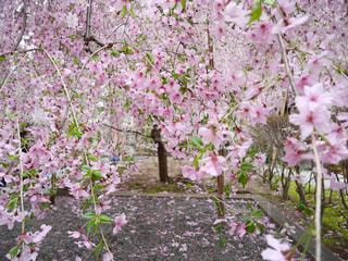 春,桜,京都,ピンク,花見,枝垂れ桜,pink,六角堂