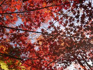 空,秋,紅葉,赤,もみじ,岐阜県