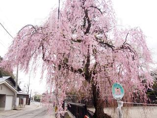 角館の枝垂れ桜の写真・画像素材[1158672]