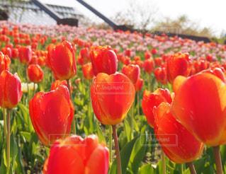 咲き誇るチューリップの写真・画像素材[1158683]