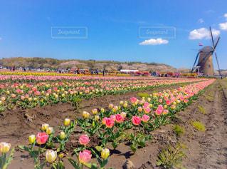 チューリップと風車と桜の写真・画像素材[2048921]