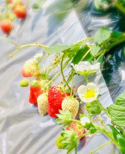いちごと花の写真・画像素材[3162183]