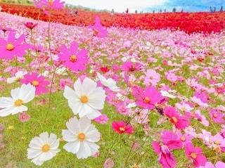 花畑の写真・画像素材[3339210]
