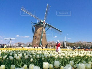風車とチューリップ畑の写真・画像素材[3340759]