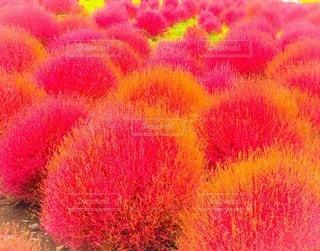 紅葉した植物の写真・画像素材[3341985]
