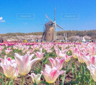 ピンクの花畑の写真・画像素材[4233037]