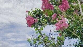 自然,風景,空,花,夏,カメラ,カメラ女子,木,庭,屋外,ピンク,太陽,かわいい,雲,きれい,晴れ,青空,日焼け,暑い,曇り,葉,日光,季節,景色,花びら,日差し,鮮やか,草花,美しい,樹木,外,眩しい,風,サルスベリ,夏休み,快晴,サマー,昼間,華やか,真夏,ライフスタイル,猛暑,草木,眺め,日中,インスタ,ガーデン,動画,揺れる,夏日,動き,映え,ビデオ,紫外線,ブロッサム,百日紅,暑さ,動く,さるすべり,インスタ映え,眩しさ