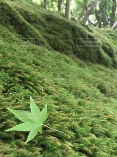緑の落ち葉の写真・画像素材[1183059]