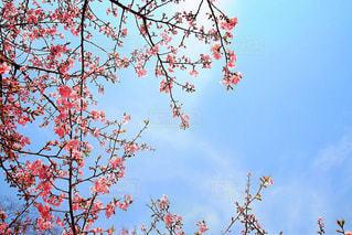 青空に映えるピンク色の写真・画像素材[1116789]
