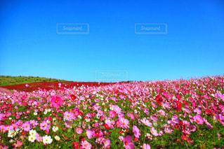 バック グラウンドでひたち海浜公園をフィールドに赤い花の写真・画像素材[1124465]