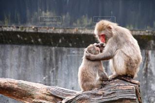 木製フェンスの上に座っている猿の写真・画像素材[1181501]