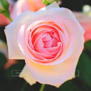 近くの花のアップの写真・画像素材[1197243]