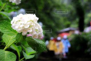 花,雨,屋外,白,紫陽花,flower,梅雨,アジサイ