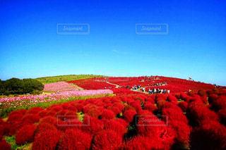 色鮮やかなみはらしの丘の写真・画像素材[1468265]
