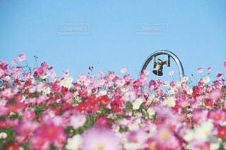 公園,秋,屋外,ピンク,コスモス,ひたち海浜公園,ひたちなか,みはらしの丘,みはらしの鐘