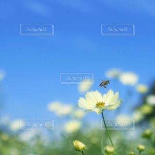 コスモスとミツバチの写真・画像素材[1512067]
