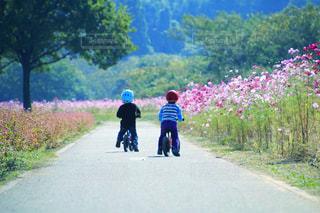 コスモス畑のサイクリングの写真・画像素材[1512095]